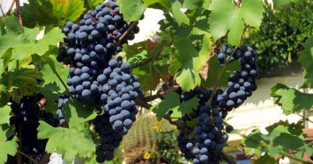 Vinha uvas vinho