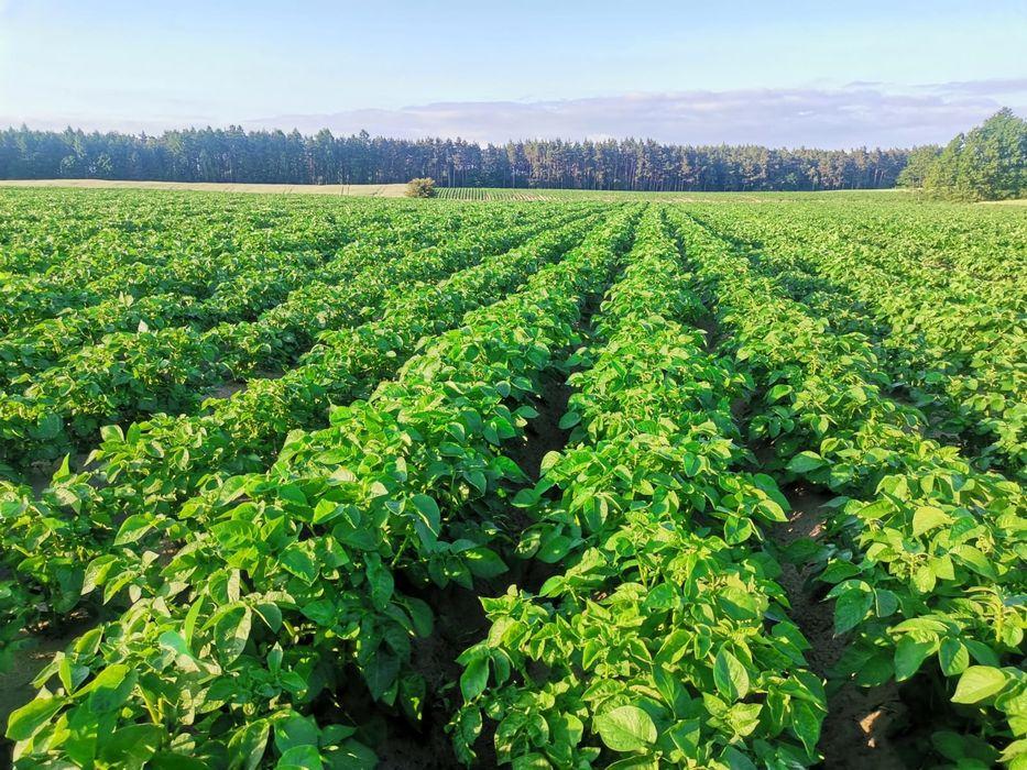 Ziemniaki jadalne GALA kal 3,5-5,5 (jak sadzeniak) na karme, paszowy Chojnice - image 1