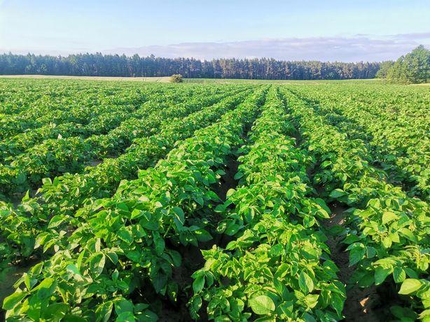 Ziemniaki jadalne GALA kal 3,5-5,5 (jak sadzeniak) na karme, paszowy