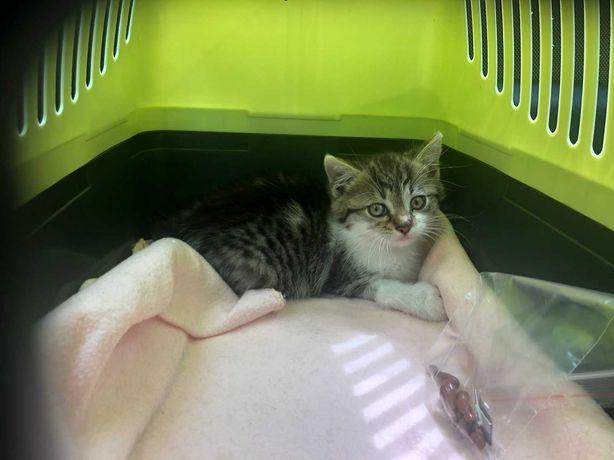 śliczna 8 tygodniowa kotka do oddania za darmo