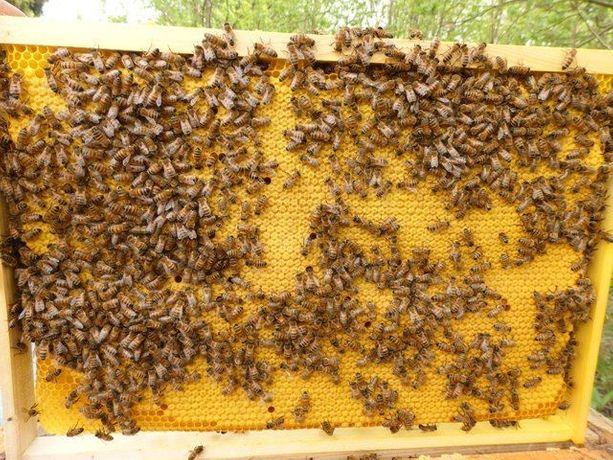 Бджоломатки (пчеломатки,матки ) Бакфаст 2020