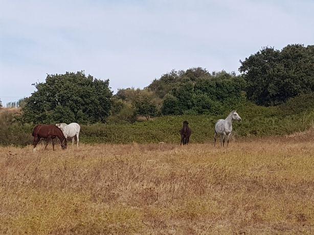 Cavalos para benda.