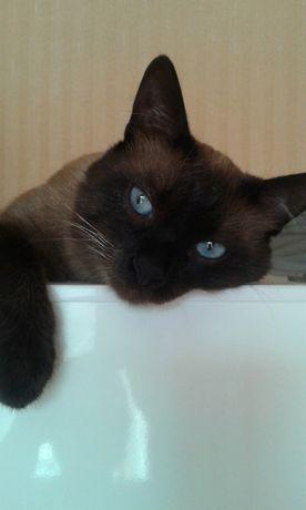 сиамский кот для вязки