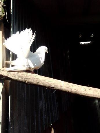 Vendo pombas de leque
