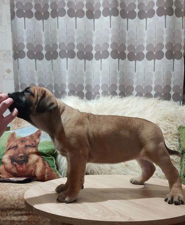 Отличные щенки канарского дога !
