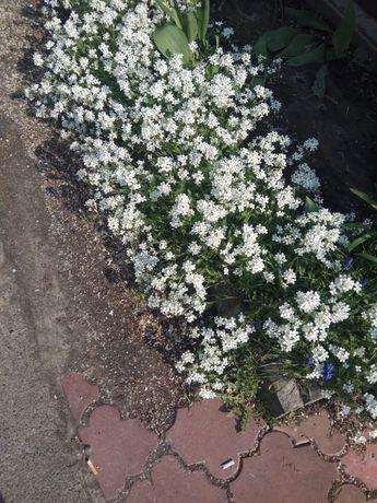 Многолетние цветы Резуха (латинское название Арабис)