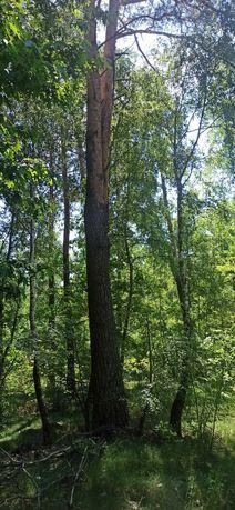 Las mieszany 30, 60 i 100 letnie drzewo