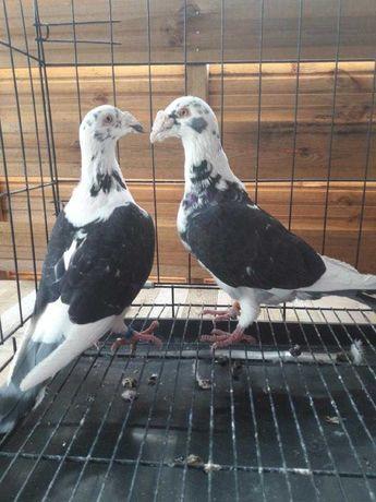 Gołębie staropolskie