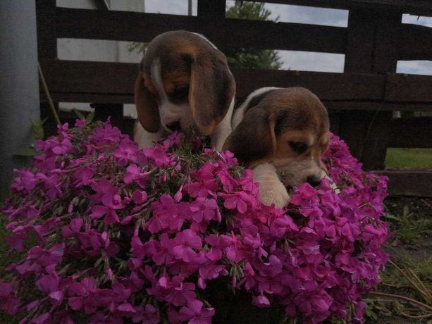 Śliczne  szczeniaczki beagle