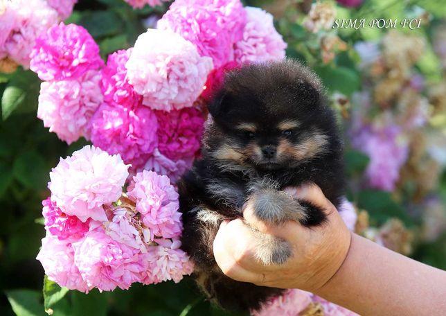 Piękny black&tan szczeniak szpic miniaturowy - pomeranian ZKwP/FCI