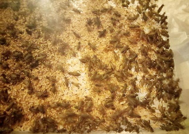 Корм насекомые сверчки 50коп львинка для рептилий амфибий