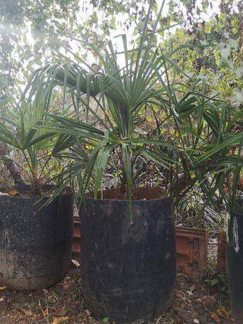 Palmeira de Leque Envasadas