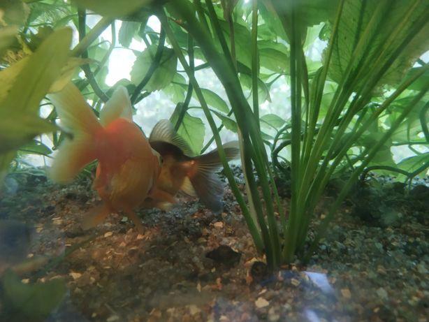 Золотые рыбки аквариумные растения