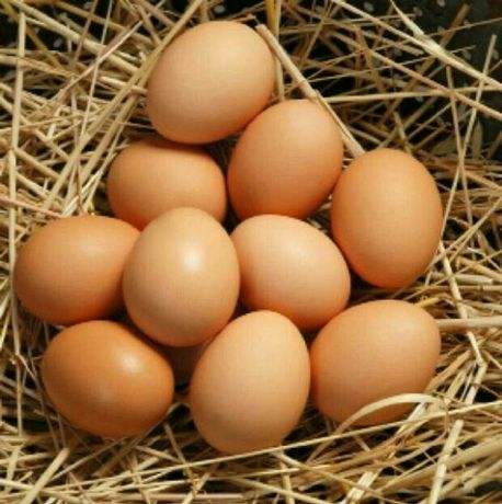 Инкубационное яйцо несушки