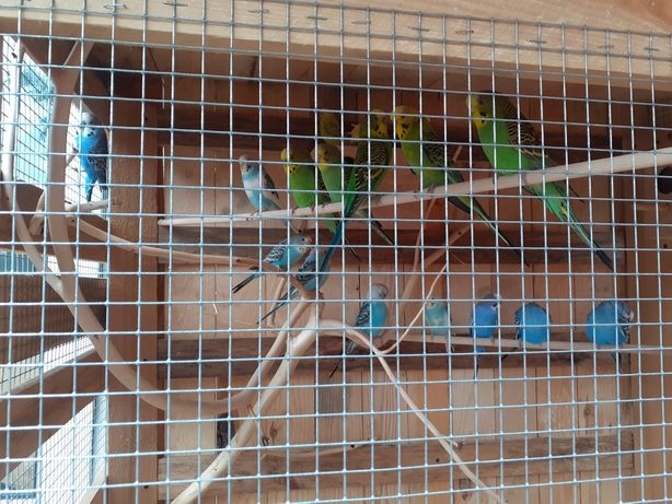 Papugi faliste młode z tego roku