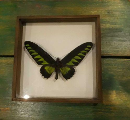 Motyl Trogonoptera brookiana- samiec, pochodzenie Malezja - w gablocie