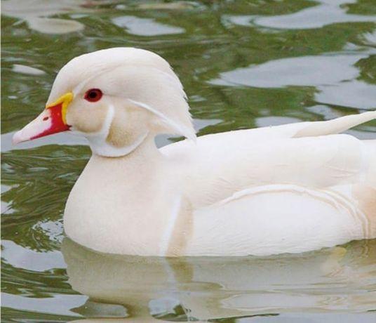 Pato Carolino branco