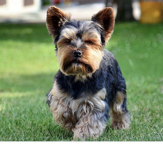 Бесплатно щенок йорка йоркширский терьер