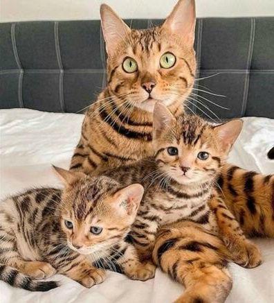 Бенгальскик котята