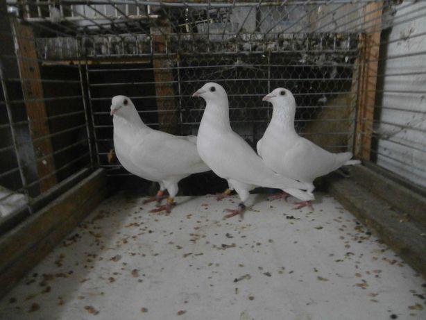 gołębie ozdobne 7 sztuk białe pocztowe