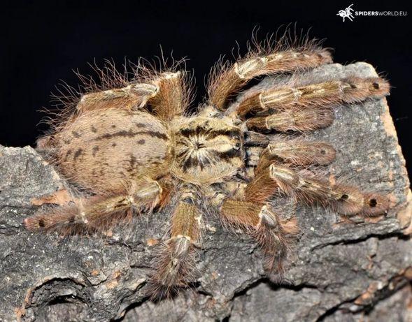Паук Stromatopelma calceatum L    6-7 самка