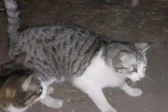 Oddam kotkę, czarno-biała lub szaro biała