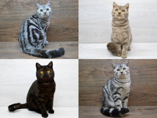 Лучшие шотландские котята , вислоухие котята