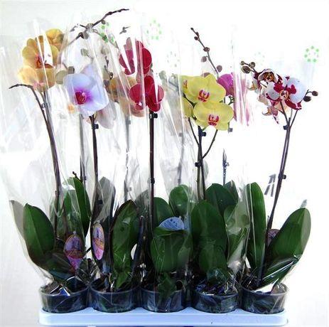 Орхидеи фаленопсис - опт Растений и Цветов из Голландии, Европы, Азии