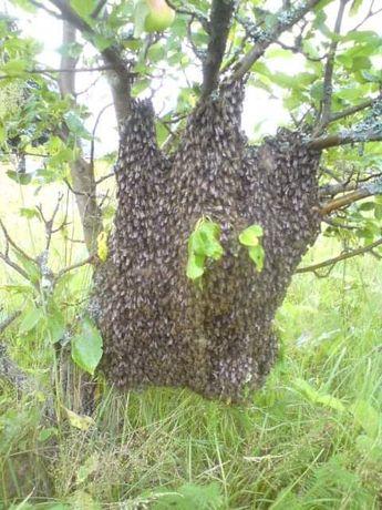 Rójki pszczele - pszczoły