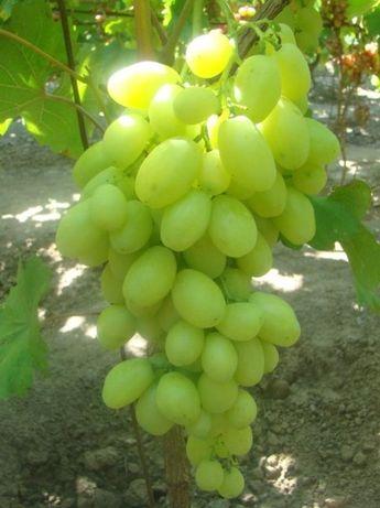 Черенки винограда Бананас