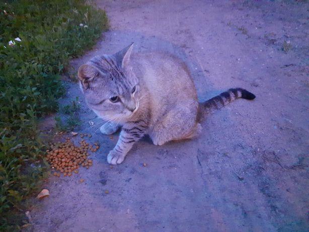Найден тайский кот. Новые дома,  пр-т Героев Сталинграда, ул Ньютона