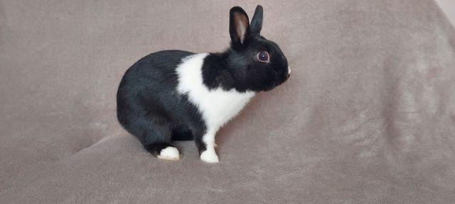 królik holenderski