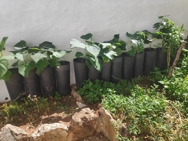 Paulownias prontas para plantar em local definitivo