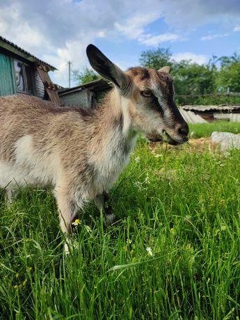 Коза, 4 міс. Довговуха у мами кози дуже хороше молоко! Козеня