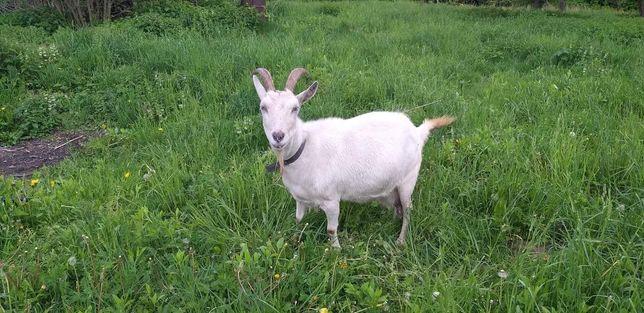 Продам козу після окоту