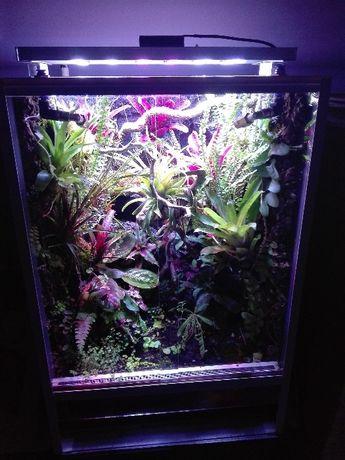 Rośliny do wiwarium terrarium paproć Asplenium spec. Panama