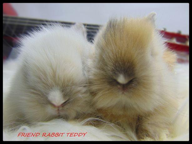DO ODBIORU Króliki karzełki TEDDY królik karzełek miniaturka MINI LOP