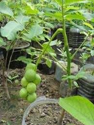Саженцы грецкого ореха гроздевого плодоношения
