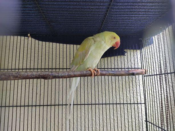 Ring Neck tricolor fêmea