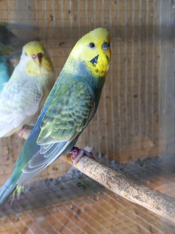 Periquitos varias mutações,  arco-iris