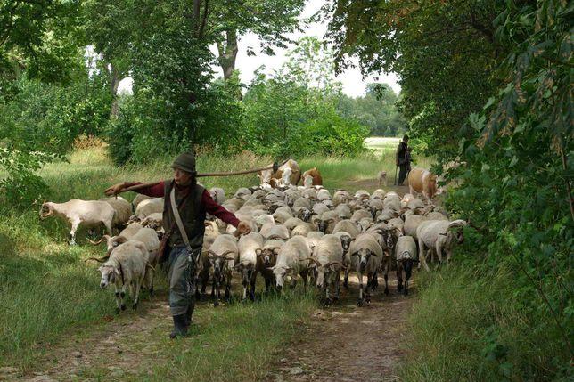 Owce czysto rasowe Valaska