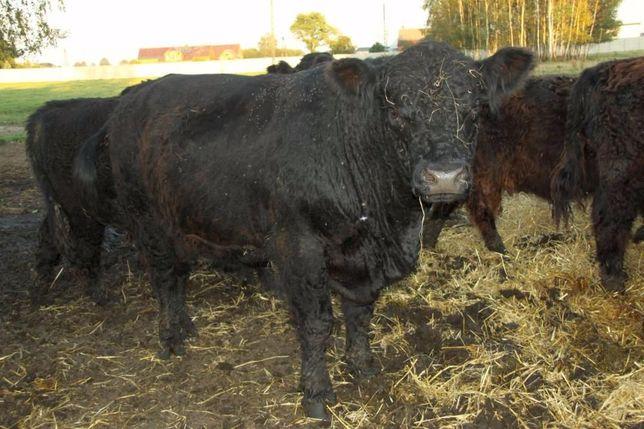 Sprzedam byki lub cielaki szkodzkiej rasy bydła galloway