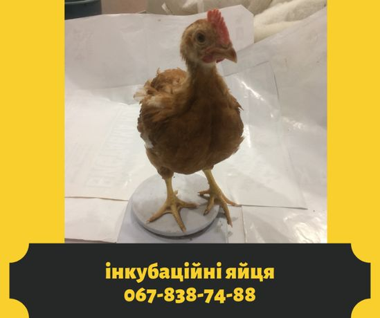 Гарна мясояєчна Голошийка інкубаційне яйце