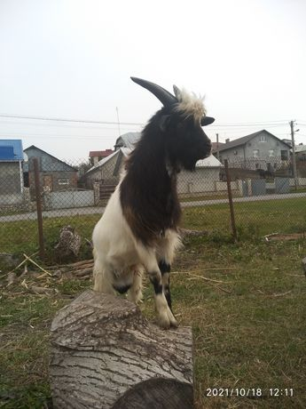Молода коза і цап