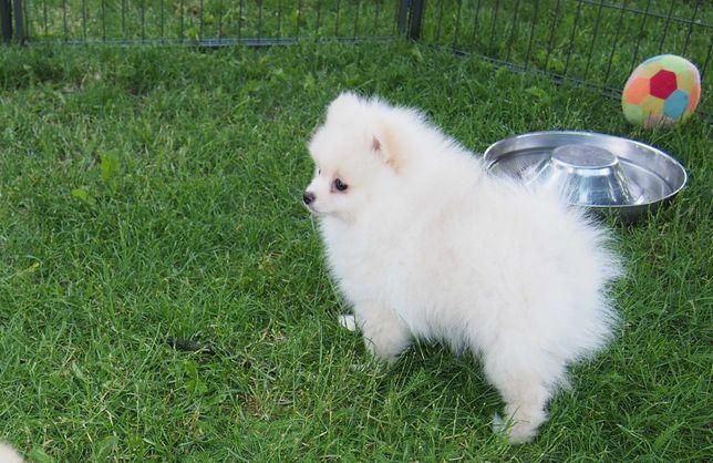 *Pomeranian Mini typ misia  rodowód komplet szczepień Aktualny*