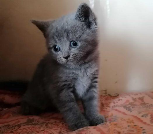 British Shorthair Femea Azul