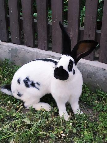 Продаю кроли разных пород!