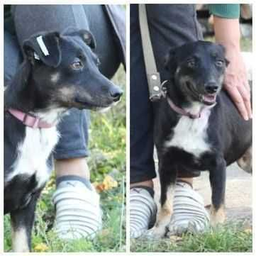 Маленькая (ниже колена) собака Чери, веселая и ласковая