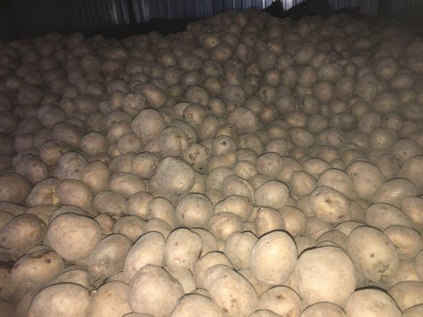 Ziemniaki sadzeniaki Wineta polecam