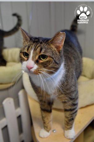 Znaleziono burego kota z bialym krawacikiem-Kapot gotowy do adopcji.